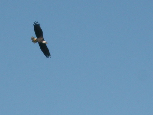 Distant Bald Eagle 20101007