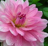 A LA MEMOIRE DE RAFAEL-ANGEL**ADIOS AMIGO** (Baratineuse1947**Lucie **) Tags: topshots amitiés lesfleursdubien flowersarebeautiful excellentsflowers natureselegantshots mimamorflowers lejardindesdélices flickrflorescloseupmacros panoramafotográfico lapetitegalerie thebestofmimamorsgroups fleursetpaysages theoriginalgoldseal lagaleriedelucie magaleriespéciale luciestopgallery maspecialegalerie