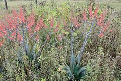 Aloe praetermissa - نبات الصبر