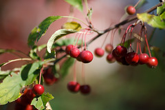 Cherry Bokeh (Golfer Chris) Tags: color fruit cherry bokeh canonef135mmf2lusm canoneos5dmarkii