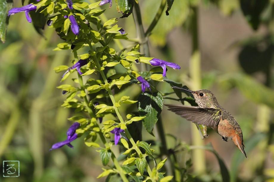 Allen's Hummingbird 10101