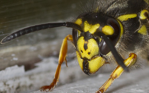 wasp-up close