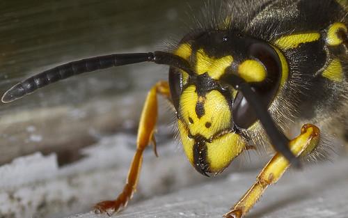 wasp-up close