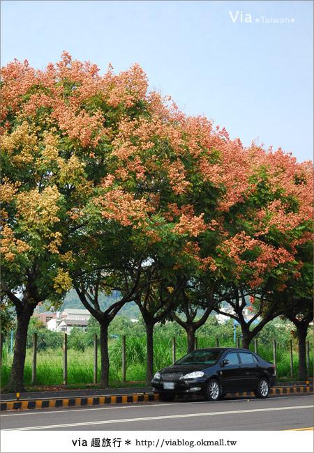 【台中】台灣秋天最美的街道!台中大坑發現美麗的台灣欒樹13