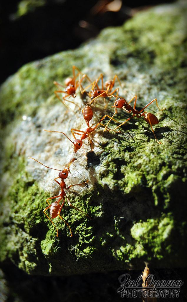 Ocoephylla smaradgina (Weaver Ants)