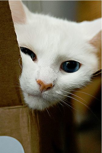 cute rescued white cat blue eyes