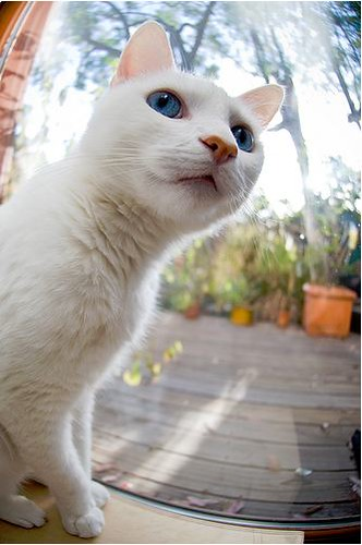 cute rescued white cat by the window