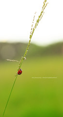 Black polka dots (Three less neurons per minute) Tags: green grass bokeh polkadots spots ladybug 18 50mmred niunidadphotography