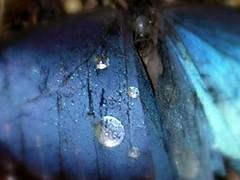 Blue Butterfly (MY PINK SOAPBOX) Tags: blue naturaleza macro nature water beauty rain azul butterfly garden lluvia wings agua nikon eau natural bokeh azure cyan jardin natura bleu gotas papillon zen alas karma winged waterdrops mariposa acqua celeste namaste bluewings gotasdeagua jarden azurra natureabstract anahidecanio artyzenstudios