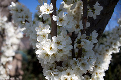 IMG_7783 (krugerprings) Tags: flowers white home beagle grass garden violet september callie snowdrop plumtree 2010 plumblossoms krugerprings