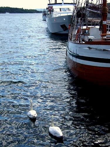 Oslo swans