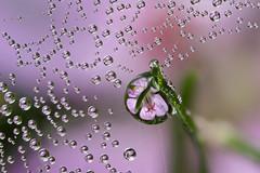 102 DEWDROP REFRACTIONS (GOLDENORFE) Tags: flower macro waterdrop dewdroprefractions