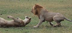 Masai Mara (Trent Strohm) Tags: africa fight kenya pair lions mating fighting governors masaimara