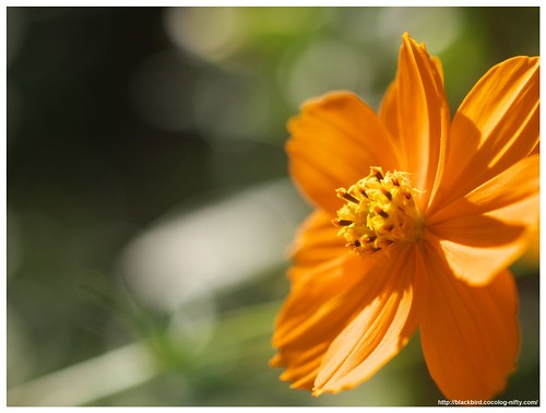 Yellow Cosmos 101018 #01