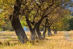 Dancing Trees (Kaiser Sozo) Tags: autumn trees landscape geotagged russia nikond70s vineyards blacksea 2010 gelendzhik nikkoraf8020028 krasnodarskiykray krasnodarregion