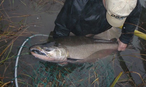 Oregon Chinook Salmon