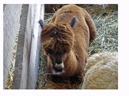 adorable baby alpaca