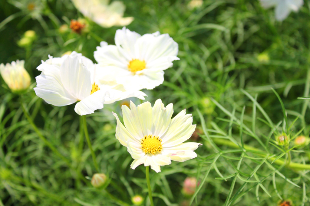 Cosmos Festival Showa Commemorative National Government Park