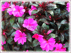 Impatiens walleriana (Touch-me-not, Jewel Weed, Sultana, Busy Lizzy/Lizzie), with magenta flowers