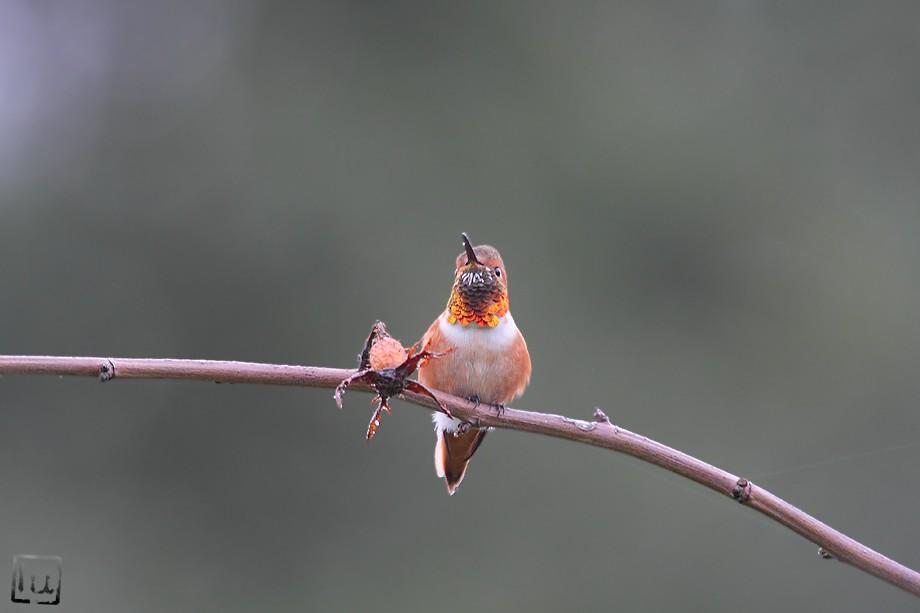 Allen's Hummingbird 101810-7