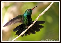 """2-Esta es sin flash.Cual de estas dos imagenes le gustan mas?Estas imagenes son para mi amiga Conniee a quien llamo la mujer colibri """"Hummingbird women"""".Zumbador esmeralda ENDEMICO-Chlorostilbon swainsonii-Hispaniolan Emeral. Sierra encantada de Bahoruco. (Cimarrn Mayor !!!7,000.000 DE VISITAS, GRACIAS!!) Tags: naturaleza verde bird fauna dominicanrepublic sierra ave libre republicadominicana oiseaux montaas panta dominicano destellos sinflash endmica zumbador endemica bahoruco acaros canoneos7d sierradebahoruco canon7d zumbadoresmeralda chlorostilbonswainsonii aceitillar libertee cimarronmayor residentereproductor telefoto700 endmicadelahispaniola aceitillarsierra4 descuaje"""