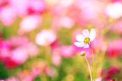 Lay Me Down on the Flower Bed (samyaoo) Tags: flower bokeh taiwan  cosmos