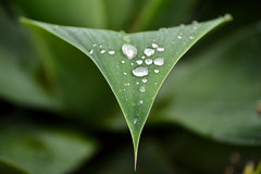 First Of A Million Raindrops (peasap) Tags: california plant storm green wet water rain fauna leaf october triangle lajolla raindrops waterdrops shrubbery lajollaplayhouse ljp