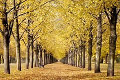 Down the Alley (>TIM<) Tags: autumn orange fall yellow 50mm alley colours pentax herbst hannover explore allee herrenhausen georgengarten k200d