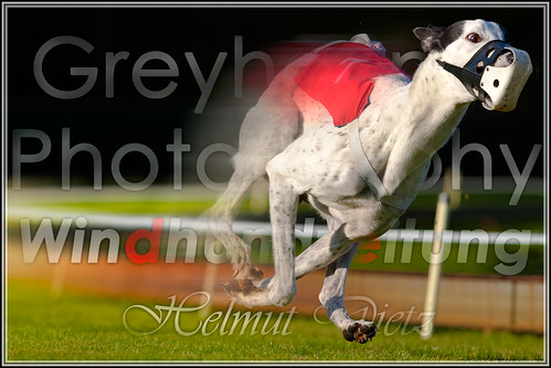 HD! - Windhundzeitung.de - Greyhound - Photography