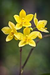 Clutch (XXVIII) Tags: flowers orchid yellow flora blossom cluster fresh bud botanicalgardens eos20d clump ef100mmf28usmmacro nationalorchidgardens kongping