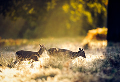 follow me! (andrew evans.) Tags: lighting wood morning autumn trees light england sun white mist cold tree nature misty fog fairytale forest sunrise golden countryside kent woods nikon frost bokeh wildlife warmth calm deer ethereal rays sunrays wonderland storybook magical f28 enchanted d3 400mm