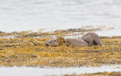 European Otter (Lutra lutra) 27 Oct-10-41915 (tim stenton www.TimtheWhale.com) Tags: mammal scotland innerhebrides argyll otter isleofmull mull hebrides mustelid lutralutra europeanotter landmammal eurasianotter lochscridian