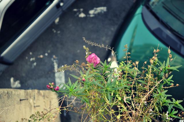 rosa sullo smeraldo