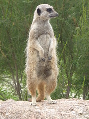 Meerkat at Werribee Zoo