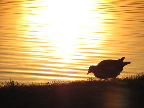 Teichhuhn im Sonnenuntergang