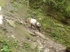 Takin (eMammal) Tags: takin wolong budorcastaxicolor geo:lon=30873 taxonomy:common=takin sequence:index=1 sequence:length=1 otherhoovedmammals taxonomy:group=otherhoovedmammals siwild:study=wolongcameratrapsurvey siwild:studyId=wolongbaitedsets geo:locality=china siwild:plot=wolong siwild:location=lwwl08811a siwild:camDeploy=chinadeploy194 geo:lat=103173 taxonomy:species=budorcastaxicolor siwild:date=200809270944000 siwild:trigger=wwl08811a01105 siwild:imageid=wwl08811a01105 sequence:id=wwl08811a01105 file:name=wwl08811a01105jpg sequence:key=1 file:path=dchinachinacameraimagedigitalafter2008wolongnaturereservewwl08811a01wwl08811a01105jpg siwild:region=china BR:batch=sla0620101119044543 siwild:species=12