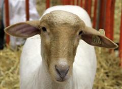 Tunis ewe