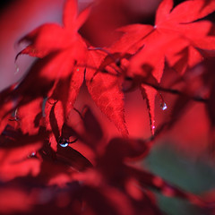 Red and Dreamy (rosyrosie2009) Tags: uk red england macro nature leaves photography maple flickr bokeh explore 70300mm tamron mapleleaves closeuo explored bokehlicious d5000 tamronaf70300mmf456dildmacro tamron70300mmlens nikond5000 rosiespooner rosyrosie2009 rosemaryspooner rosiespoonerphotography