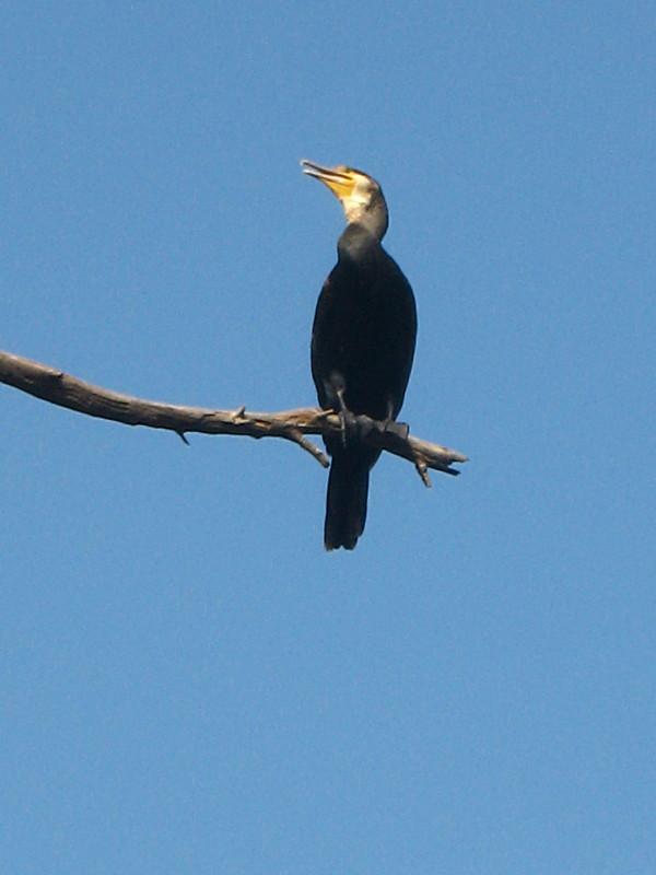 20-11-2010-cormorant9