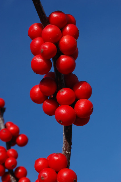 Broemmelsiek Park, in Saint Charles County, Missouri, USA - red berries against blue sky