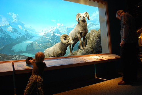 Big horn sheep at the Royal Alberta Museum