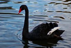 Black Swan - Cygnus atratus (Keith in Southampton) Tags: black macro bird water up swan pond close southampton cygnus netley atratus