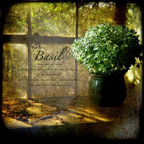 plant texture window photomanipulation photoshop grunge pot basil herb textured grungy brendastarr november2010