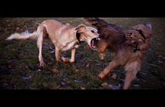 When Dogs Collide (teddave) Tags: or canine well give take muzzle carnivore saluki lurcher cinemascope cinemacrop