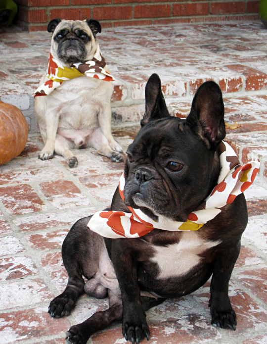 pug and frenchic dressed for thanksgiving+funny dogs