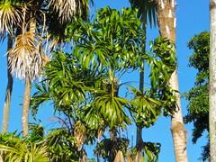 Thrinax parviflora spp. parviflora (tranquilometro) Tags: county beautiful gardens botanical florida miami landscaping south center tropical montgomery subtropical fairchild miamidade