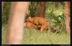 Act I Scene 2 (Rana & Sugandhi) Tags: india blood calf wilddog bandipur gaur dhole bandipura battleofbandipur