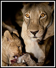 night kill..... (A.M.G.1 - cruising) Tags: film nature animals canon photo african wildlife southern lions lioness bigfive big5 phography  photography killing birds specanimal southern animal wildlife africa kingdom andy photographer lion wildlife wild animals goodman amg1
