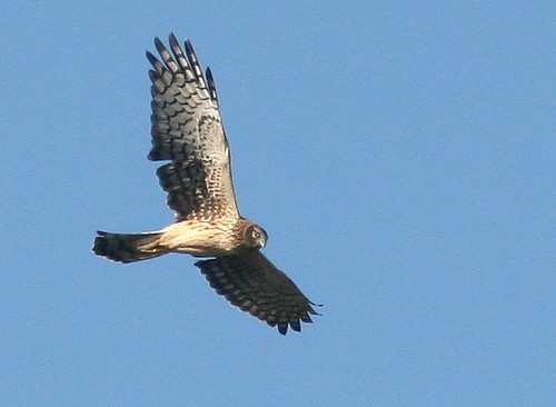 Northern Harrier 20101201