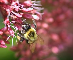 Bumble Bee in the Garden (` Toshio ') Tags: toshio bee bumblebee insect garden flower macro brooksidegardens nature maryland